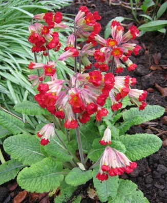 Fairy Bells ( Primula veris ) a Sacred Druid Herb