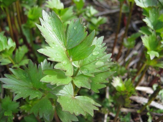 Clean Fresh Foliage, Clean Fresh Aroma