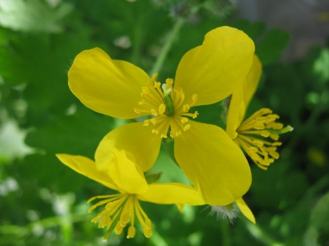 Celandine aka greater celandine, swallow wort, tetterwort
