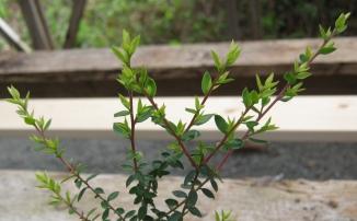 Leptospermum scoparium & Apis mellifera a Winning Team