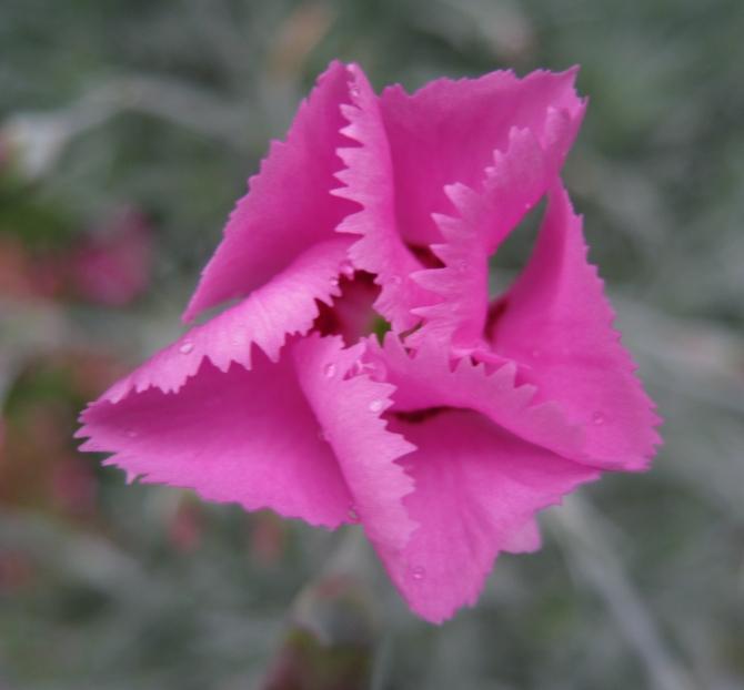 Clove Pinks