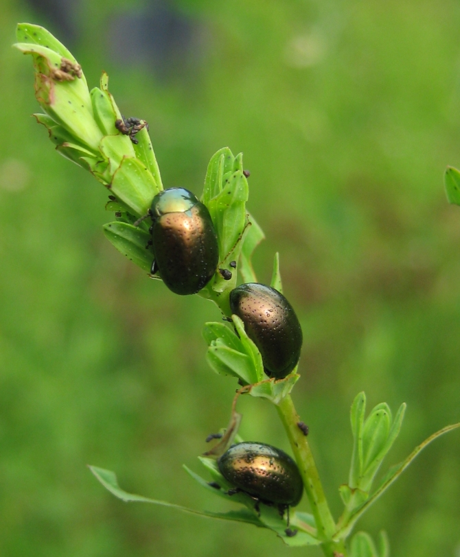 National Insect Week Part 2 Chrysolina Beetles and St. John's Wort
