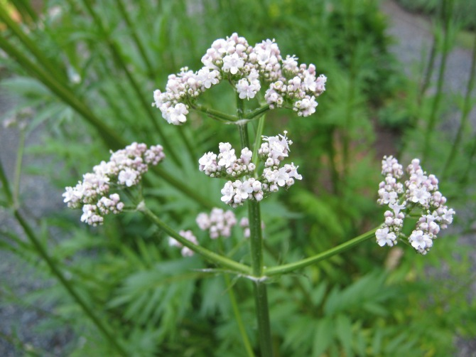 Valerian and the Candian Natural Product Database