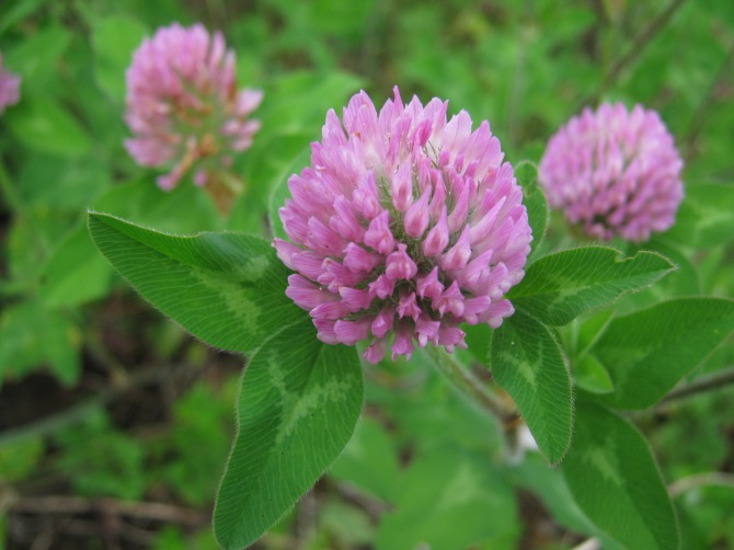 Red Clover , Soil, and the Holistic Agriculture Library
