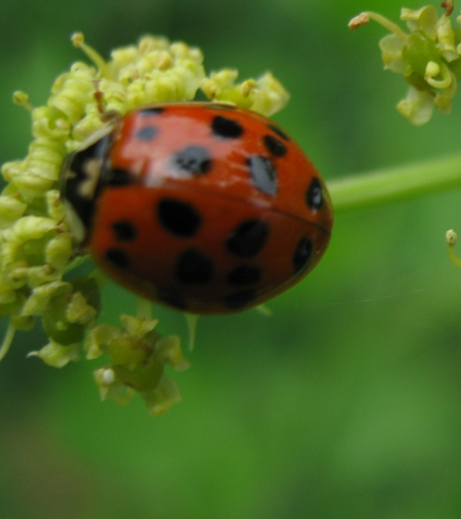 A Lady Beetle Identification Key and  BTW ..... Happy National Insect Week  June 23rd -29th!