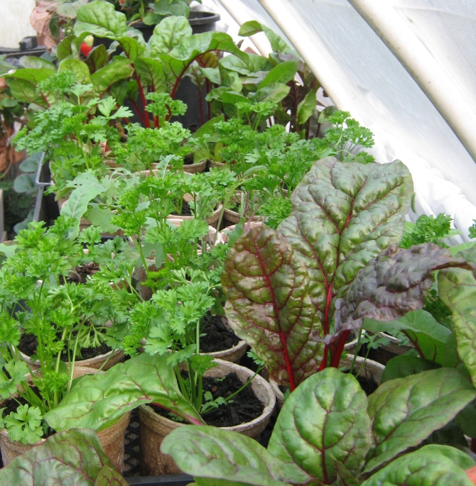 Fall greens waiting to be transplanted into beds.