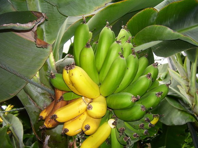 Bananas growing in a greenhouse in Iceland Photo by Alistair Lockyer