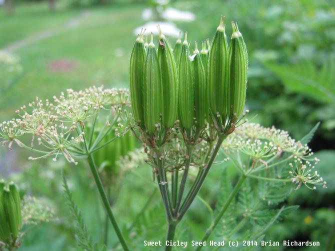 sweet cicely seed head